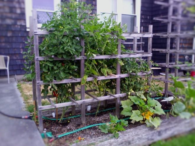 3 Tomato trellis